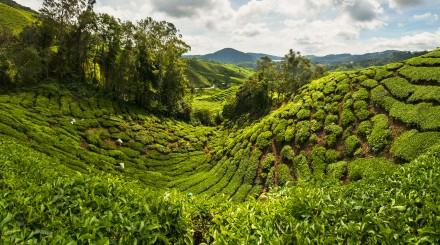 Excursion aux champs de thé