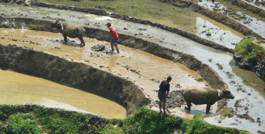 Apprentissage de la culture du riz